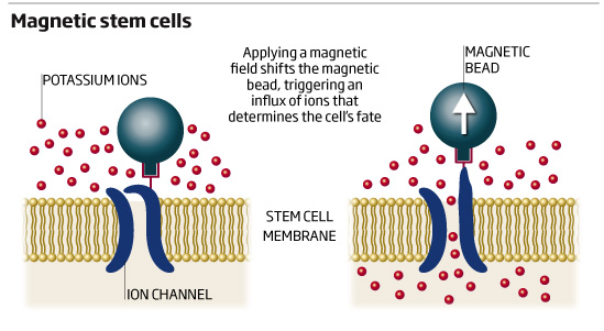 Magnetic stem cells